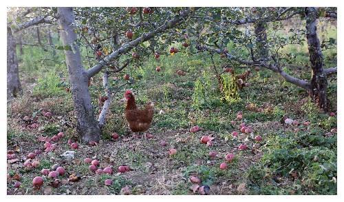果园里成熟的苹果无人采摘落满地,鸡都嫌弃,看邻居大嫂怎么说