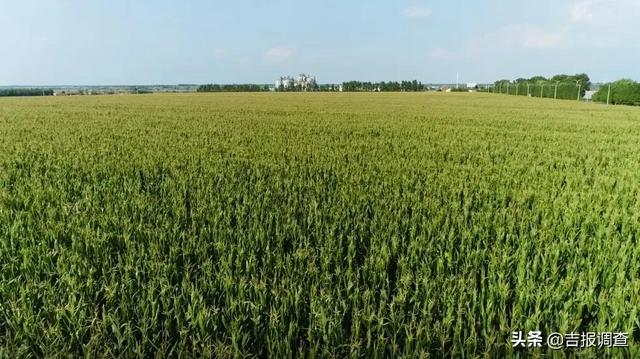 眼下,吉林省各地的大田玉米已全面进入成熟期,即将迎来收获季