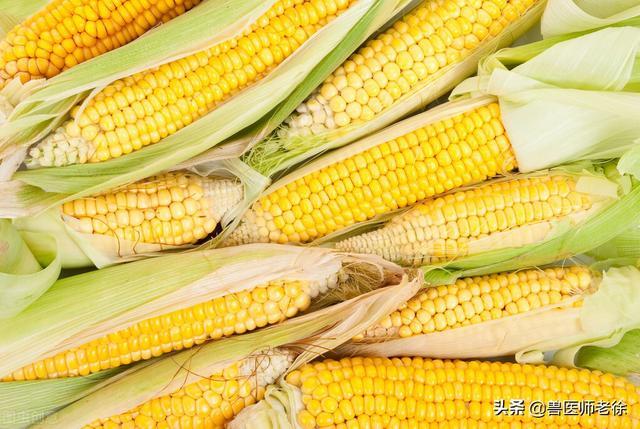 新玉米水分高容易发霉,养猪不能用,是不是添加脱霉剂就能喂猪?