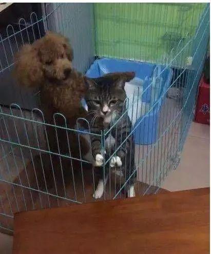 被和泰迪关在一个笼子里,猫咪痛不欲生:这次越狱必须